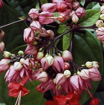 GLORY VINE Clerodendrum speciosum climbing red flowers plant in 140mm pot