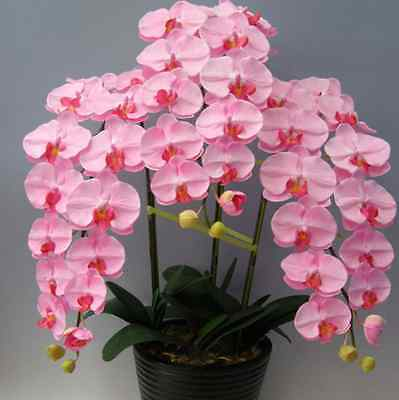 Orchid 200 Seeds Pink Phalaenopsis Seeds Flowers Seeds  Four Seasons Pink Orchid