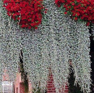 """Dichondra Argentea """"Silver Falls"""" x3 young plants/seedlings Not for NT"""