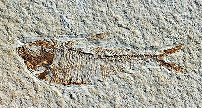 Fossil Fish from Wyoming • Diplomystus dentatus #14 • 2.75 inches