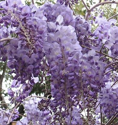 CHINESE WISTERIA sinensis fragrant lavender flowers deciduous climb plant 170mm