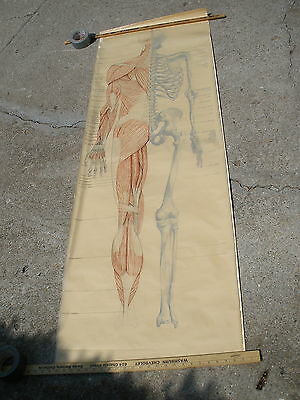 vintage Human Body SKELETON anatomic MUSCLE medical DRAWING