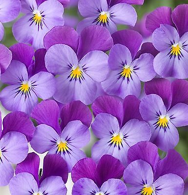 40  Winter Flowering   Viola Trailing Indigo Wing  Basket Plant Plugs
