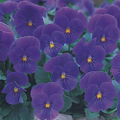 40  Winter Flowering Trailing Viola Blue   Basket Plant Plugs
