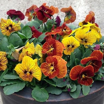 40 Winter Flowering Viola F1 Tiger Eye Mixed  Bedding Patio Plug plants