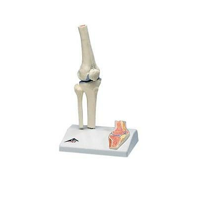 Anatomical Model - mini knee joint with cross section of bone on base