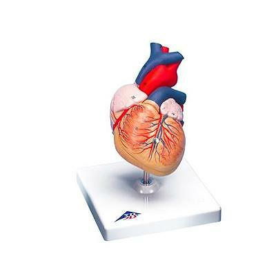 Anatomical Model - heart, 2-part