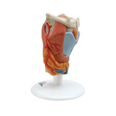 Anatomical Model - larynx, 2-part