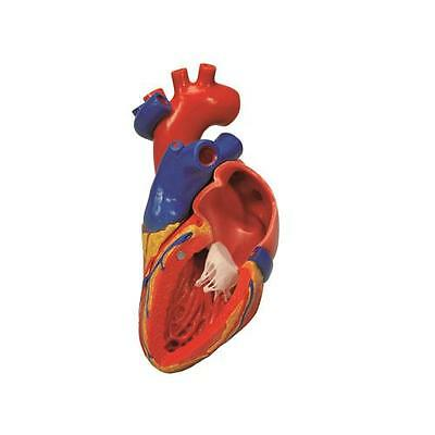 Anatomical Model - heart with bypass, 2-part