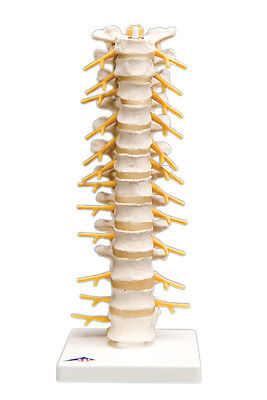 Anatomical Model - thoracic spinal column