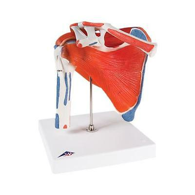 Anatomical Model - shoulder joint with rotator cuff