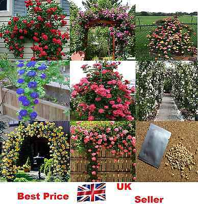 40X Rare,Multi-Colors Climbing Rose Flower Seeds Garden Plant, Other Colours