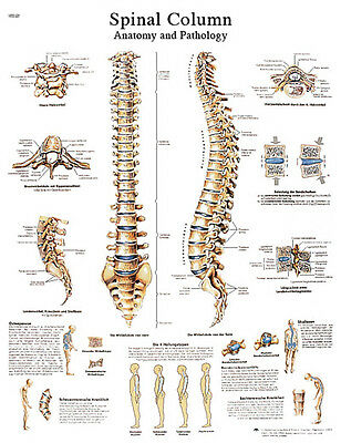 Anatomical Chart - spinal column, sticky back