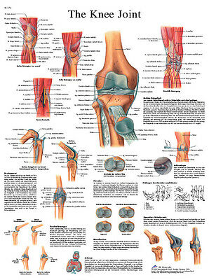 Anatomical Chart - knee joint, sticky back