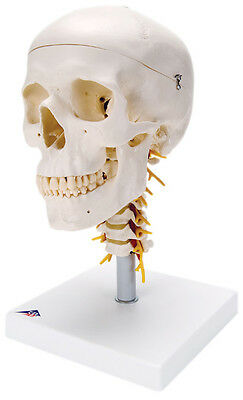 Anatomical Model - classic skull, 4 part, on cervical spine