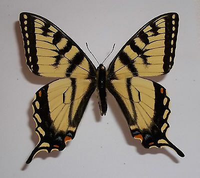 Papilio Canadensis Male From Canada 2016 Wild Caught