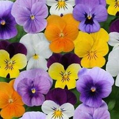 40 Winter Flowering Viola  Select  Mixed Bedding Patio Plug plants