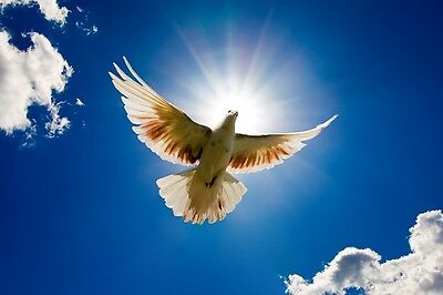 Dove in the air with wings wide open in front of the sun. 20x30cm Hochglanz Foto