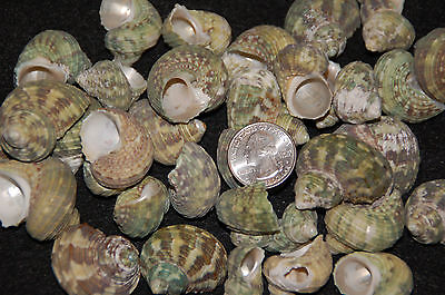 "6 Assorted Green Turbo (Brunneus Turbo) Seashells 3/4"" To 1 1/2"""