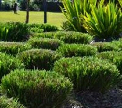 100 x Lomandra longifolia native hardy strappy grass plants in 40mm pots