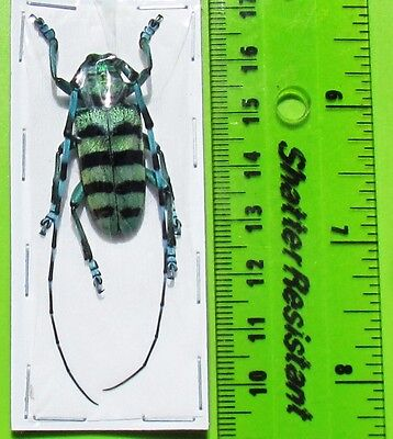 Blue & Black Long-horn Beetle Anoplophora medembachi Male FAST SHIP FROM USA