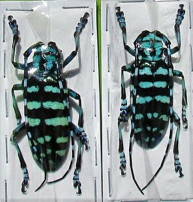 Black & Blue Long-horn Beetle Anoplophora graafi Pair FAST SHIP FROM USA