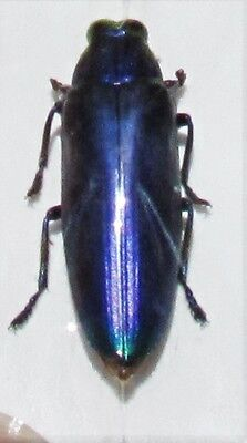 Rare Violet Jewel Beetle Chrysochroa fulminans fulminans FAST SHIP FROM USA