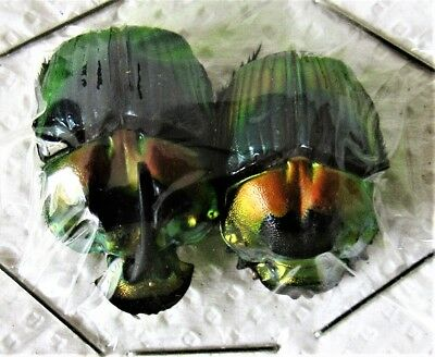 Lot of 5 Rainbow Dung Scarab Beetle Phanaeus imperator imperator Pair FAST USA