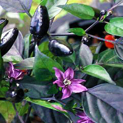 10 Semi/Seeds DI PEPERONCINO PICCANTE ROYAL BLACK HOT