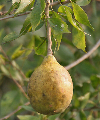 Aegle marvelos, Beal Bengal Quince Golden apple Stone apple, 20 seeds