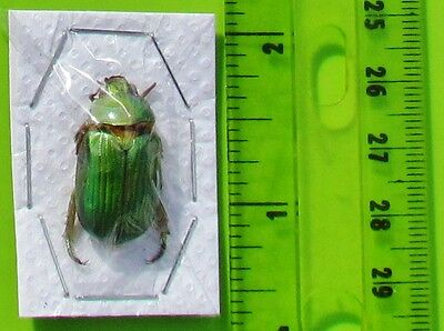 Rare Mexican Scarab Beetle Plusiotis or Chrysina orizabae  FAST FROM USA