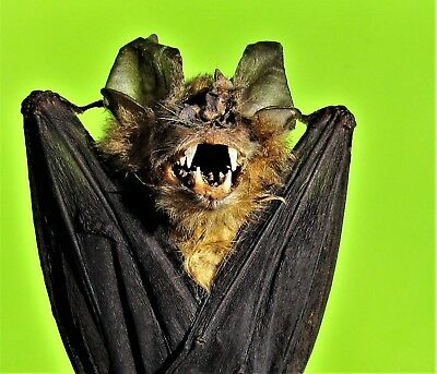 Cute Bicoloured Leaf-nosed Bat Hipposideros bicolor Hanging FAST SHIP FROM USA