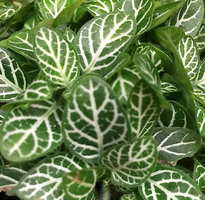2 x WHITE ANGEL FITTONIA decorative foliage indoor house plants in 60mm pots