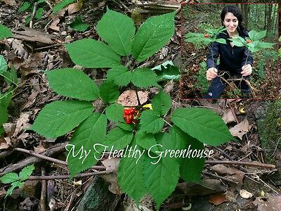 SEEDS Extra Rare!! WILD CANADIAN Ginseng STRATIFIED Ready for 2016-2017 Season!