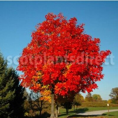 1x ACER RED SUNSET Maple Bareroot Tree Tall Trees Colourful 5-6ft (e169)