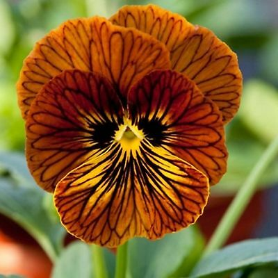 40 Winter Flowering Viola F1 Select  Red Tiger Eye Bedding Patio Plug plants