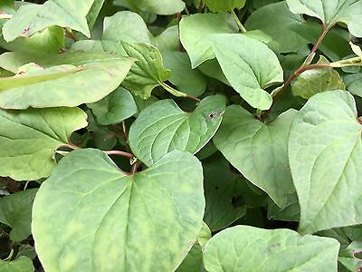 Fish Mint x5 Plants/ Cuttings - Organic Homegrown - Special Buy 2 Get 1 FREE
