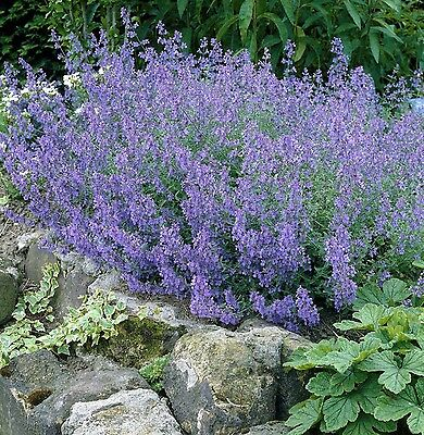 WALKERS BLUE Nepeta x faassenii tough mauve long-flowering plant in 100mm pot