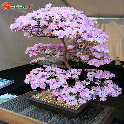 Eastern Red Bud – Cercis Canadensis Bonsai Tree – 10 Fresh Seeds
