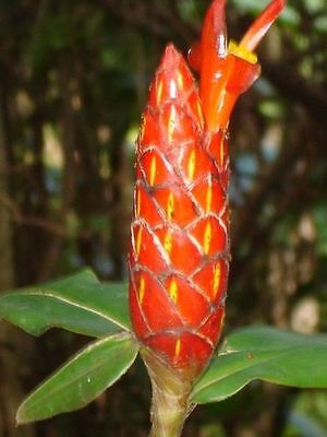Costus Scaber - Spiral Ginger - 10 Fresh Seeds