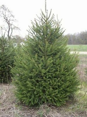 Gorgeous Picea Abies - The Norway Spruce - The Perfect Christmas Tree - 10 Seeds