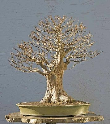 Gorgeous Trident Maple - Acer Buergerianum Bonsai Friendly Tree - 10 Fresh Seeds