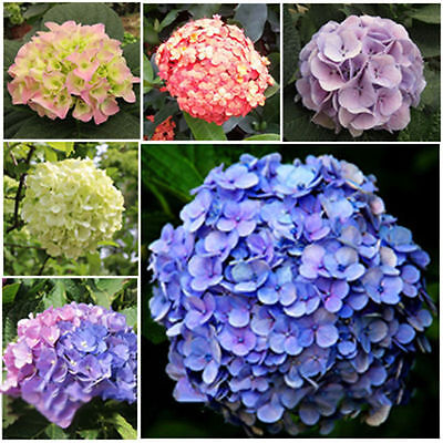 5 x seeds per pack Mixed Coloured Amazing Beautiful Hydrangea Flower Seeds 001