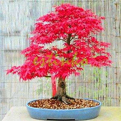 Japanese Red Maple Tree - Acer Rubrum -  10 Fresh Seeds