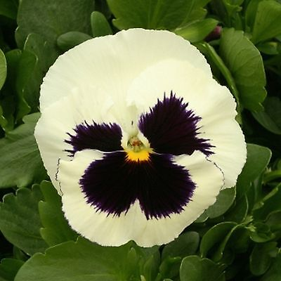 40 Winter Flowering Pansy Select F1 White Blotch   Bedding Patio Plug plants