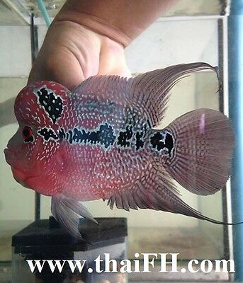 """SUPER RED DRAGON FLOWERHORN FISH 5"""" (live fish) pictured"""