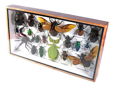 Real Butterfly Insect Bug Taxidermy Display in Framed Box Big Set Gift gpasy 22