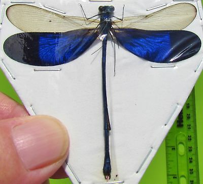 Real Electric Blue Wing Damselfly Dragonfly Neurobasis kaupi FAST FROM USA