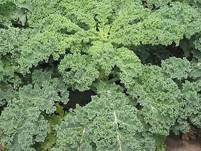 "Kale Seeds ""Dwarf Blue Curled"" (Appox 200 Seeds)"