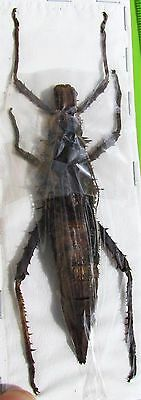 Uncommon Spiked Stick Bug Haaniella sp. Female 100mm  FAST USA